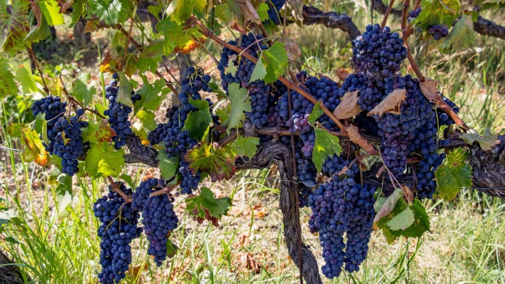 sangiovese grape guide
